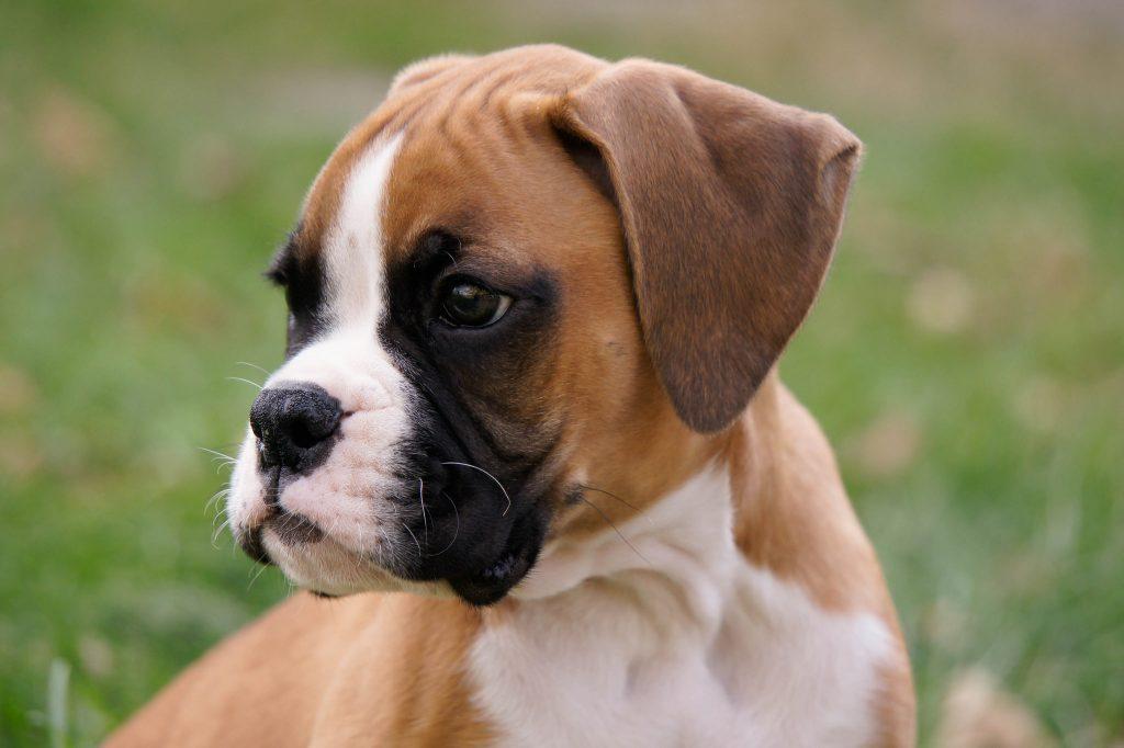Parasitas Em Cachorros Como Quando E Porqu 234 Prevenir
