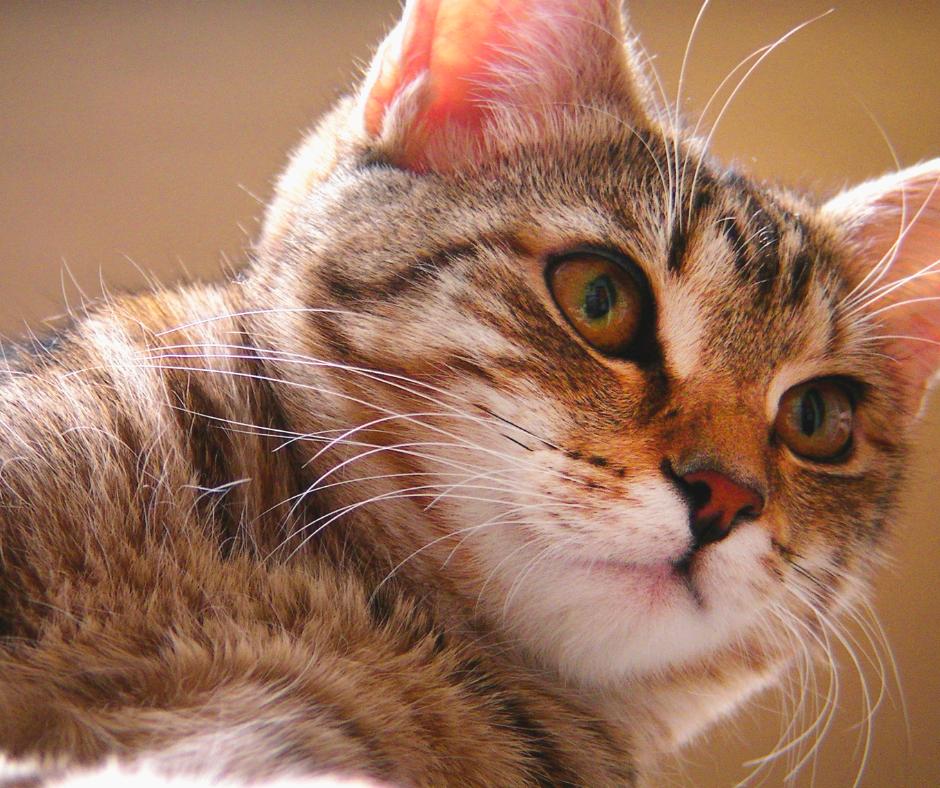 Hipertiroidismo Felino Quiz II