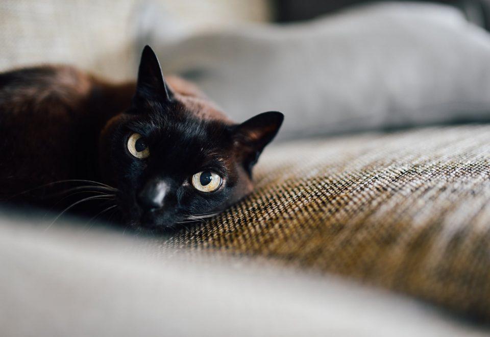 Hipertiroidismo felino é a doença metabólica mais comum em gatos